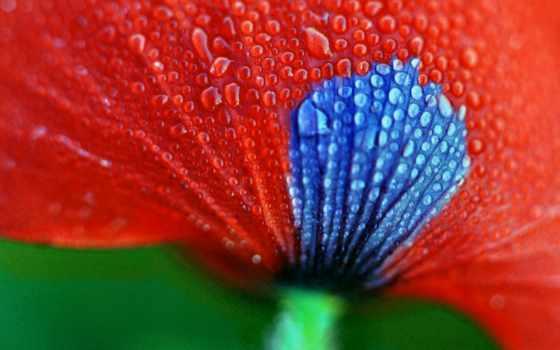 цветы, макро, лепестки, стебель, руки, взгляд, капли, маки,