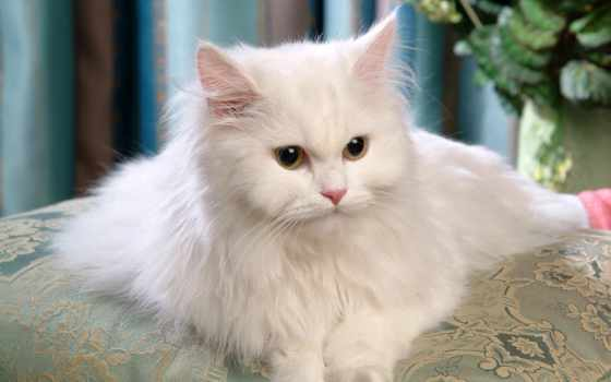 persian, cats, white