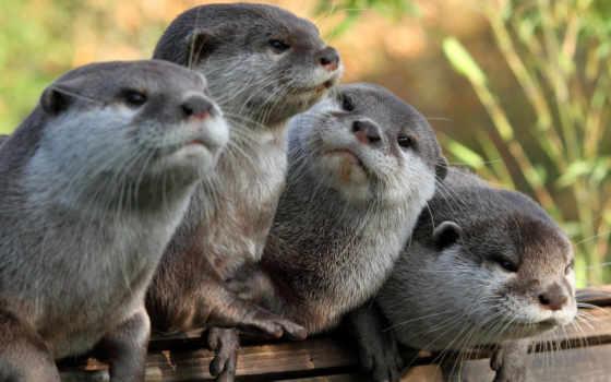 otter, морская, выдры