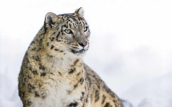 pantalla, fondos, leopardo, las, nieves, снег, леопард, grandes, felinos, descargar,