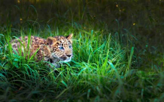 леопард, трава