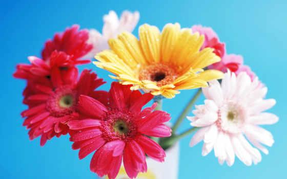 герберы, марта, цветы
