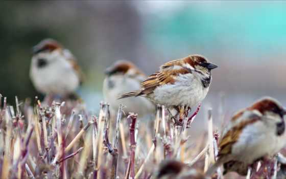 птицы, воробьи, winter