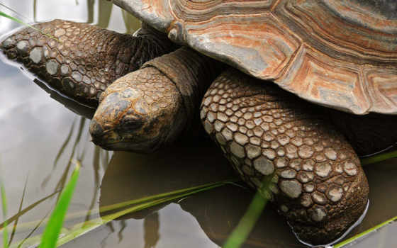 черепаха, water, похожие