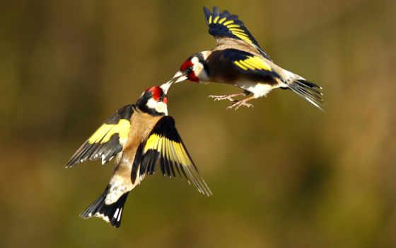 птицы, щеглы, zhivotnye, чижи, две, полете, пользователей,