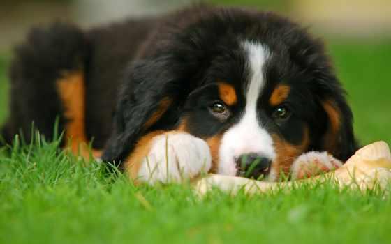 del, bernese, bovaro, ди, cucciolo, cuccioli, cane,