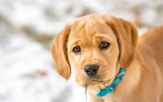 собака, щенок, labrador, animal, взгляд, мордашка