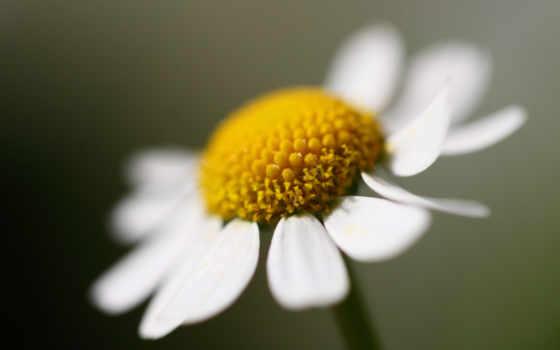 цветы, ромашки, макро