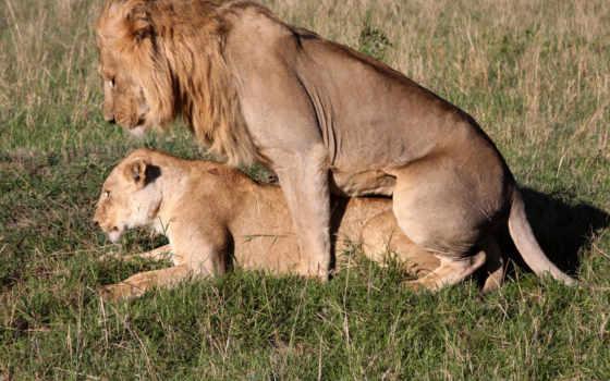 львы, zhivotnye, love
