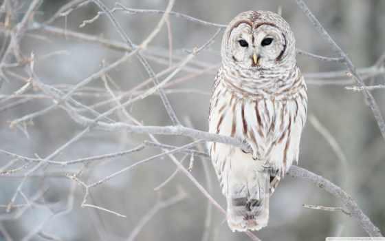 сова, белая, ветки, иний, птица,