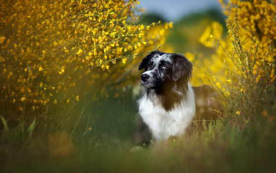 pies, trawa, lato, ка, krzew, собаки, zhivotnye, картинка, колли, траве, border,
