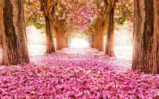 красивые, природа, заставки, Сакура, trees, аллея,