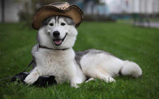 собака, собаки, хаски, собак, обычные, команды,