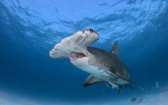 акула, hammerhead, хаммер, great, sharks,