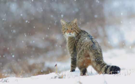 кот, лес, winter, коллекция, wild, снег, european