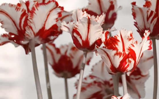 тюльпаны фото хорошем качестве