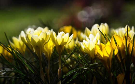 цветы, крокусы, желтые