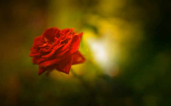 photos, роза, desktop