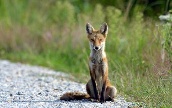 сидит, фокс, лисы, лис, тонкий, zhivotnye, тропе, природа, ворона, картинка,