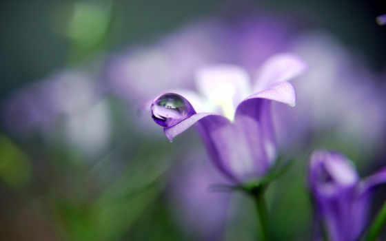роса, макро, drop, water, колокольчики, cvety, назад, розы,