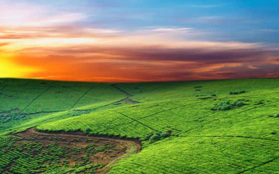 чайные, плантация, чайная, плантации, чая, розы, рай, об, margin, разрешениях, закате,