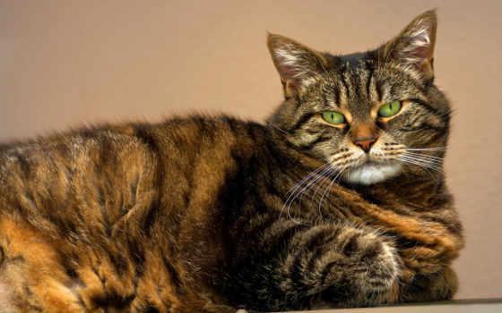 кот, glaza, морда, full, полосатая, photos, cats, зеленые, striped,