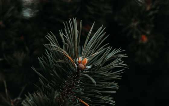 ёль, fir, игла, палуба, mobile, pexel, фото, great, many, one, дерево
