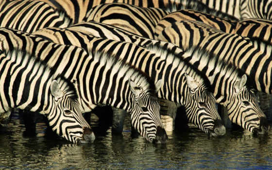zebras, animals, africa