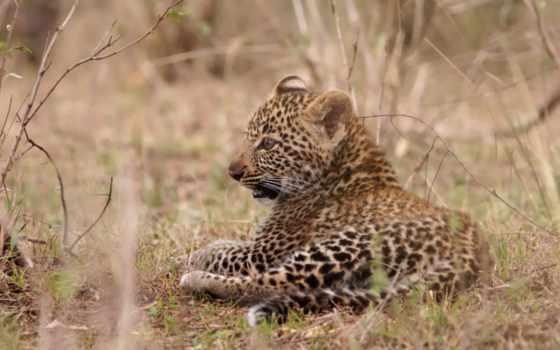 leopard, kitten, amur, cub,