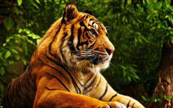 free, tiger, wild