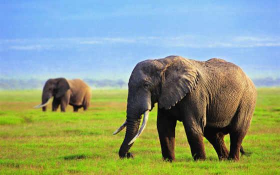 слоны, слон, трава, небо,
