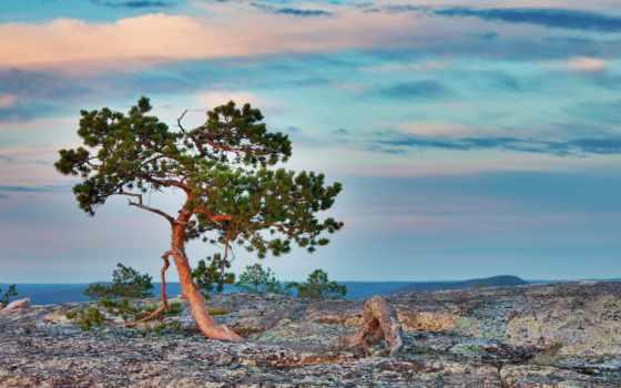 pine, взгляд, landscape, страница, шишки, trees, browse, природа, колючки, pic, картинок,