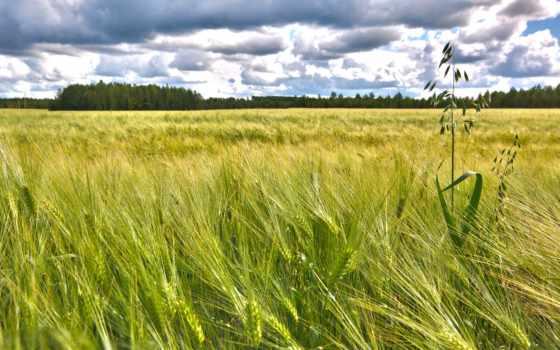 природа, поле, колосья, небо, пейзажи -, favourite,