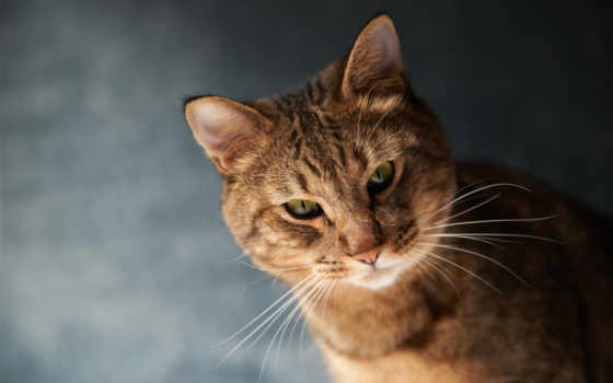 кот, глазами, кошки, зелёными, свет, воители, коты, zhivotnye, powered,