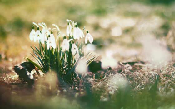 подснежники, весна, cvety, sun, природа, высоком,