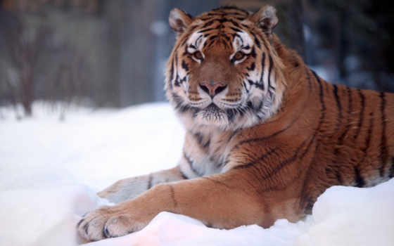 тигр, amur, тигра