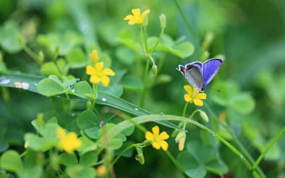 бабочка, cvety, природа, clover, роса, трава, желтые, бабочки, листва, растения, капли,