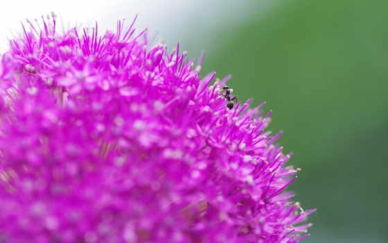 black, макро, ant, priroda, цветок, ants,