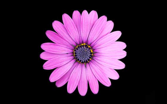 ,, цветок, флора, фиалка, пурпур, лепесток, цветковое растение, маргаритка, макросъемка, маргаритка, Маргарита,