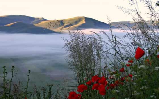 poppy, flora, flowers, foto, природа,