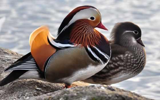 animal, женский, мужской, мандаринка, птица, утка, gaisin, сексуальный