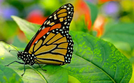 бабочка, цветы, взгляд, июня, монарх, мотылек, бабочка, листь,