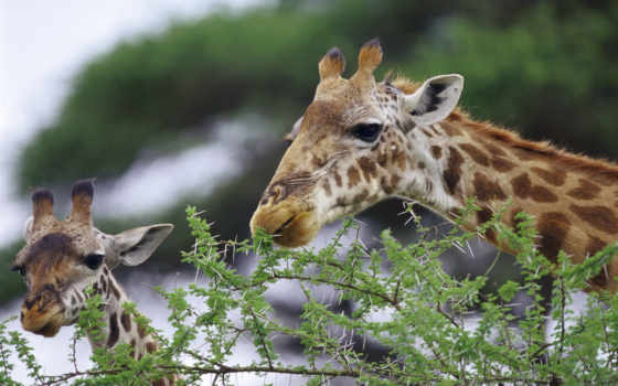 жирафы, zhivotnye, жираф,