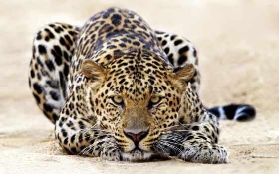 леопард, zhivotnye, смотрит