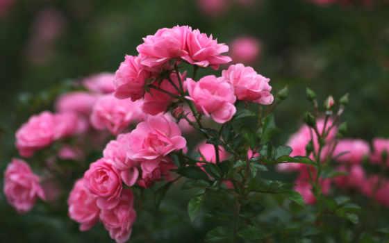 rosas, flores, lindas, roses, imagens, flowers, salvar, кб, pinterest,