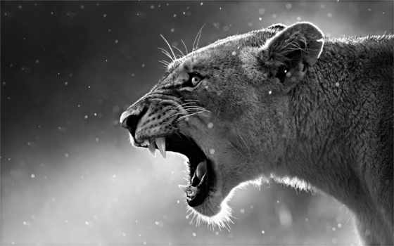 lion, live, android, free, категория, страница,
