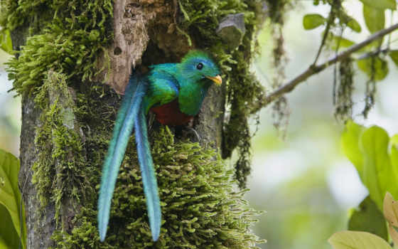 квезаль, птица, священная, ацтеков, панамы, мексики, южной, птицы, лесах, горных,
