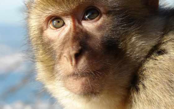 barbary, макака, macaca, gibraltar, sylvanus, магот, ape, видов,