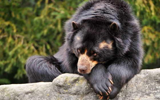 медведи, медведь, животные, бурые, взгляд, одиночка,