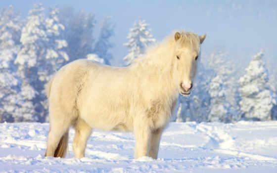 ко, mym, белая, wpisy, galop, bogiem, nałogiem, zima, лошади, кони,